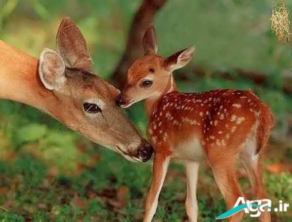 عکس بچه آهو و مادرش