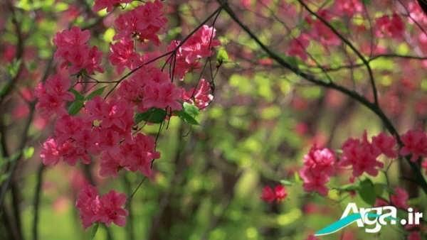 عکس شکوفه درختی