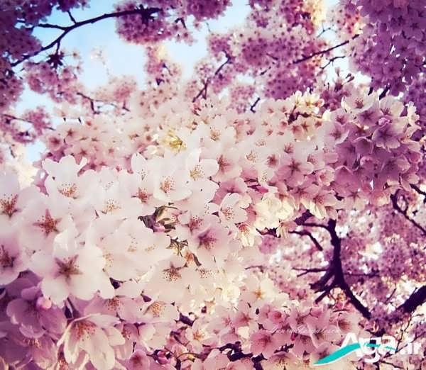 شکوفه های درختی زیبا