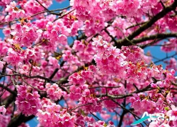 تصاویر زیبای شکوفه ها