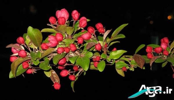 عکس شکوفه ها