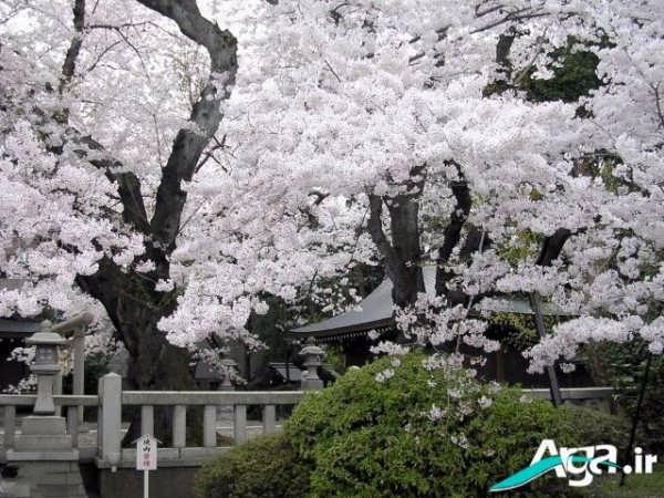 عکس شکوفه های سفید