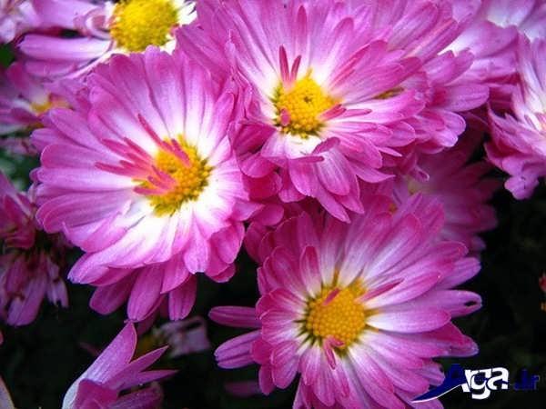 عکس گل میخک