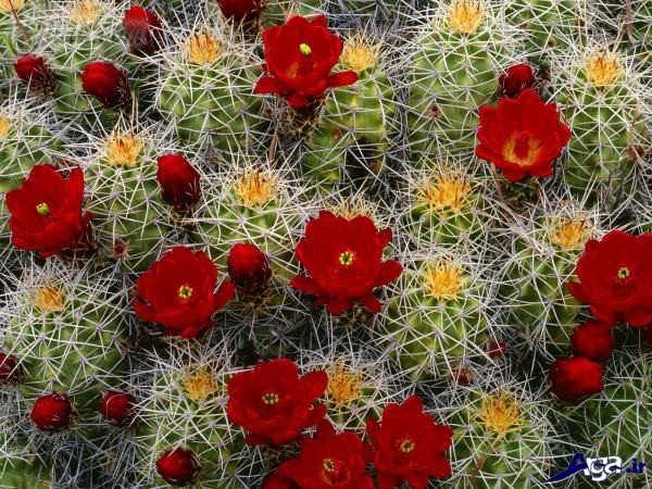 گل زیبای کاکتوس