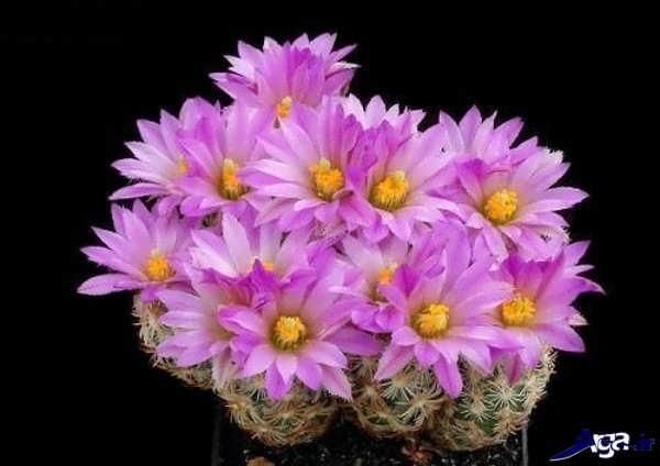 گل کاکتوس زیبا