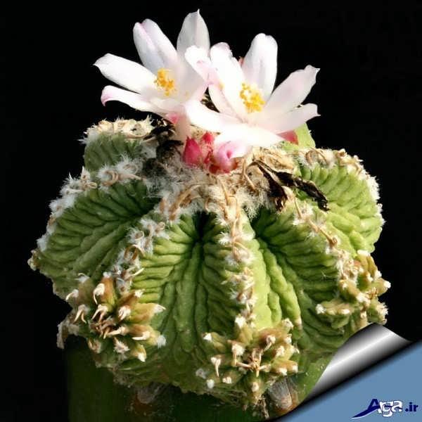 عکس گل کاکتوس