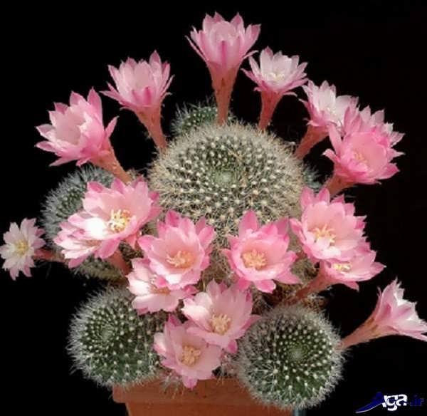 عکس های گل کاکتوس