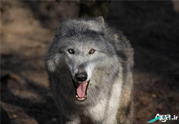گرگ خاکستری وحشی