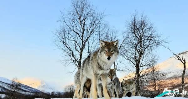 تصاویر گرگ سفید