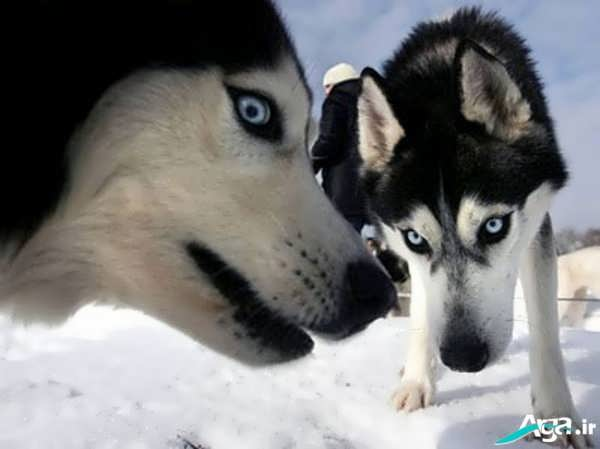 عکس گرگ های زیبا