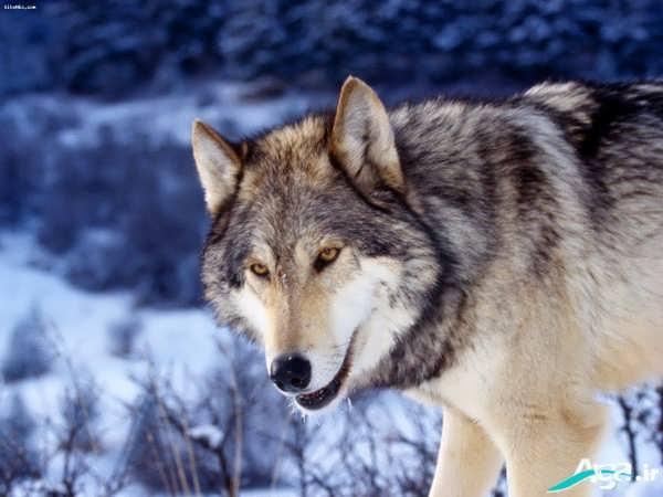 تصاویر زیبای گرگ