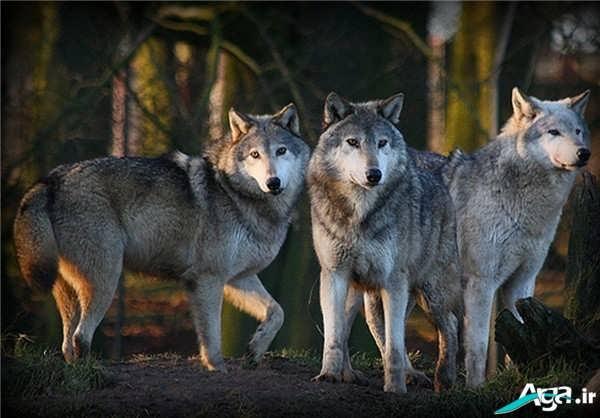 تصاویر گرگ ها