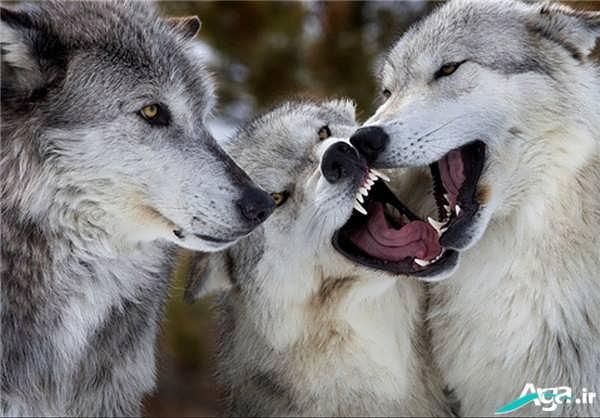 عکس گرگ زیبا