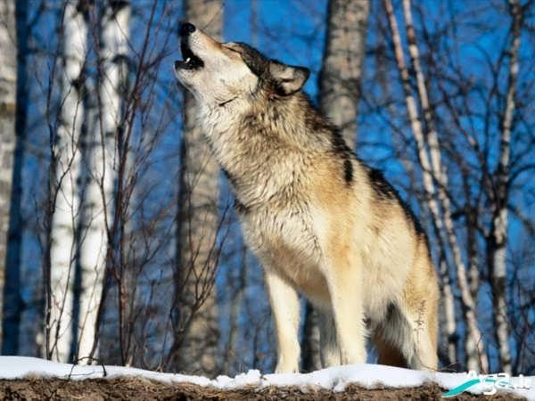 گرگ وحشی