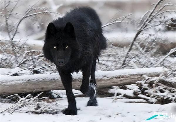 عکس جدید گرگ سیاه