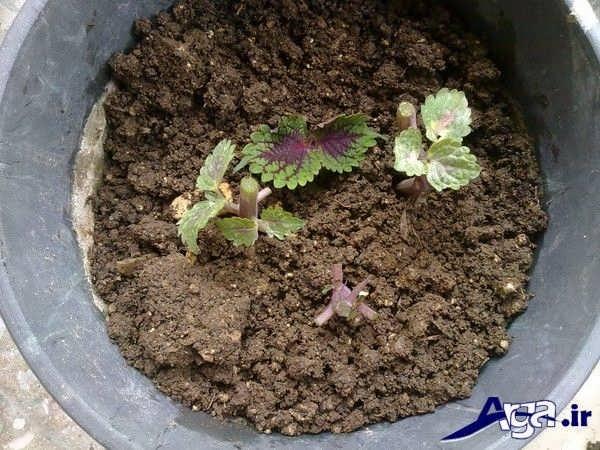 خاک مناسب گل حسن یوسف