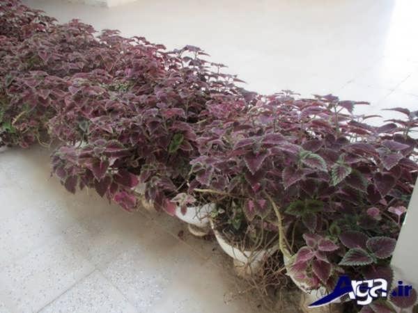 کاشت انواع گل حسن یوسف