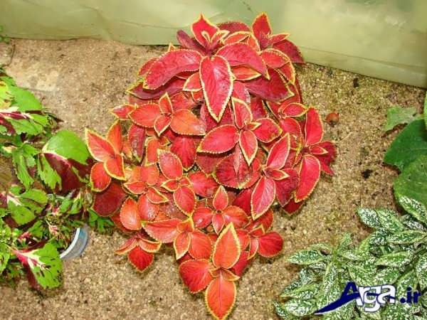 گل حسن یوسف قرمز