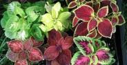 گونه های مختلف گل حسن یوسف