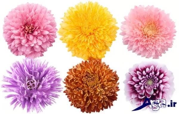 تنوع در گونه های گل کوکب