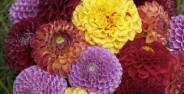 انواع گونه های گل کوکب زیبا