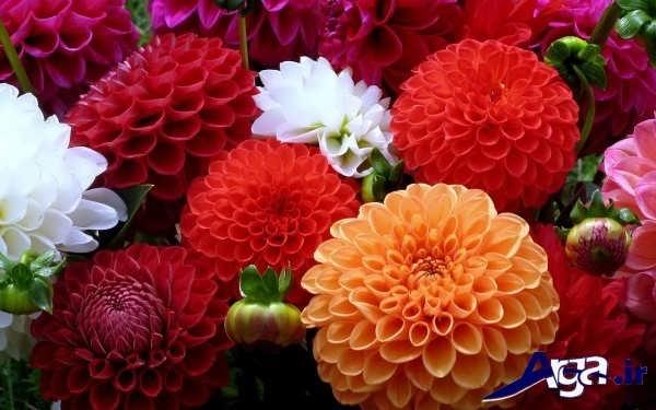 گل های کوکب