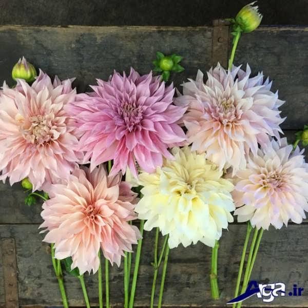 انواع گل های کوکب