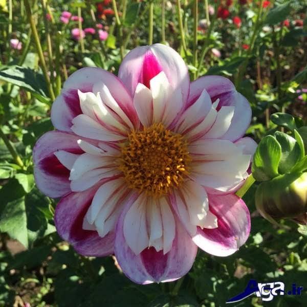تک گل کوکب