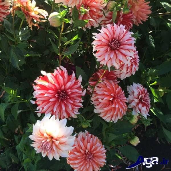 دگرگونی در گل کوکب
