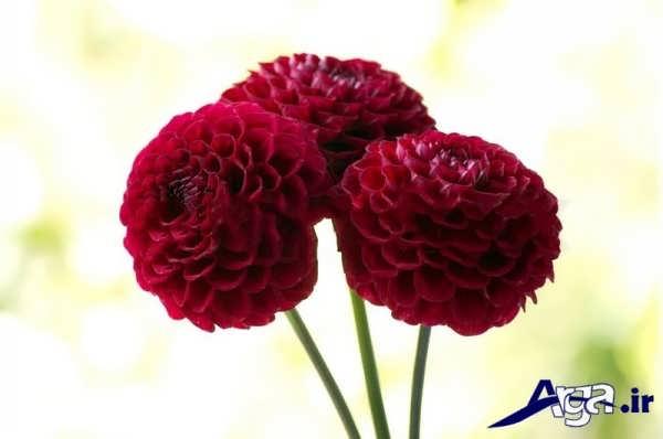 گل کوکب قرمز
