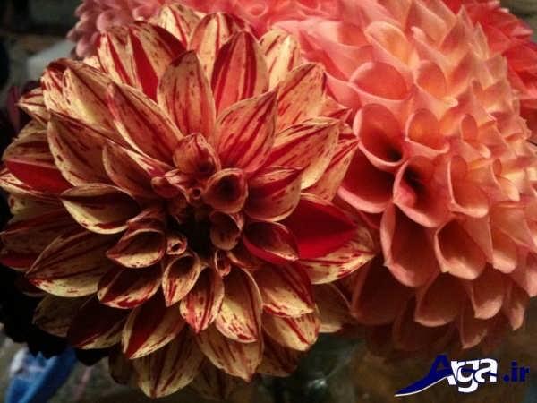 گل کوکب قرمز مایل به زرد