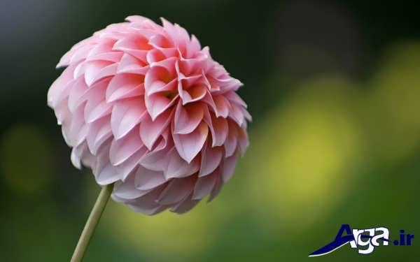 گل کوکب صورتی