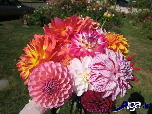 انواع گل کوکب