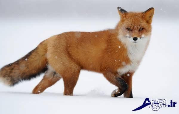 عکس روباه در زیر برف