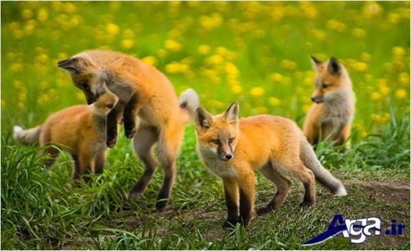 عکس بچه روباه ها