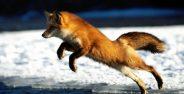 عکس روباه در طبیعت