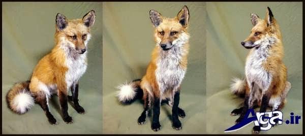 عکس از روباه ها