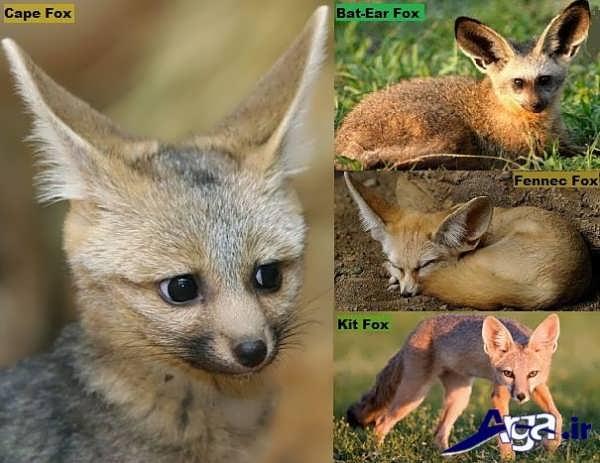 عکس روباه در گونه های مختلف