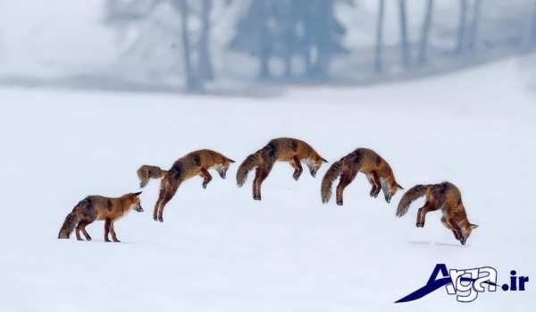 عکس روباه ها در حال بازی