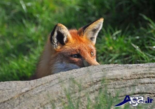 عکس روباه زیرک