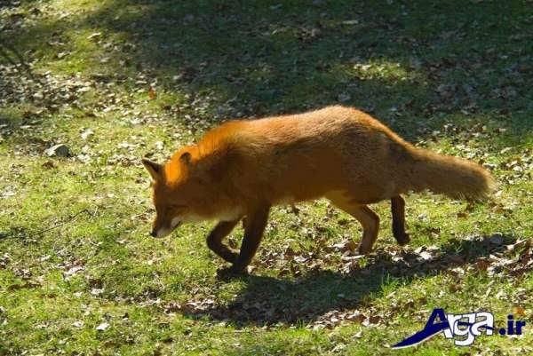 عکس روباه در جنگل