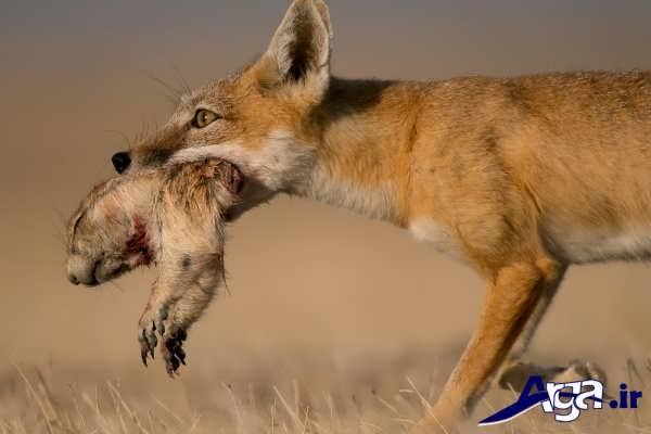 عکس روباه در حال شکار