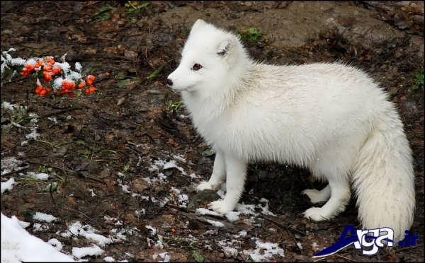 عکس بچه روباه سفید