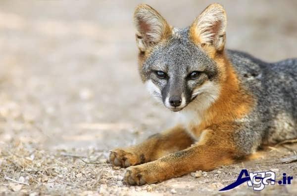 عکس روباه شکارچی