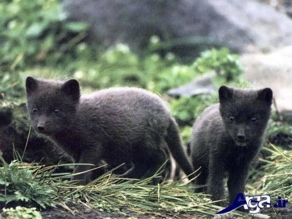 عکس روباه خاکستری
