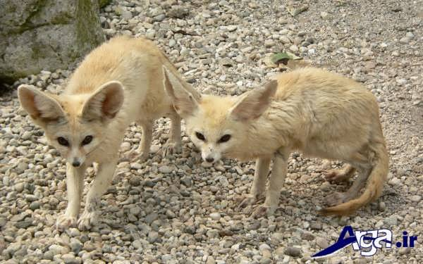 عکس روباه زیبا