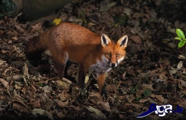 عکس روباه قرمز