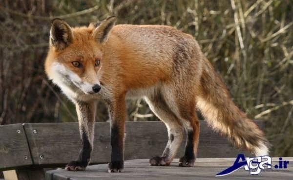 عکس روباه ها