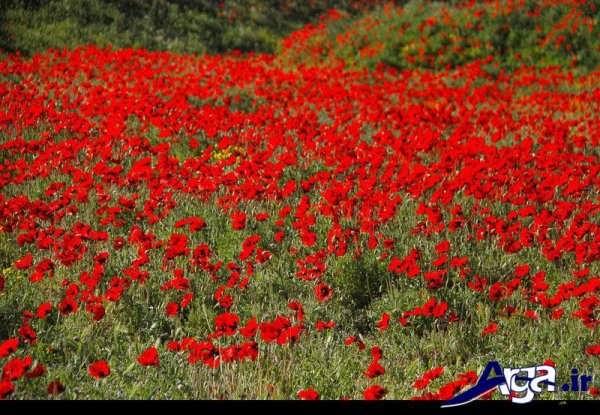 عکس دشت گل شقایق