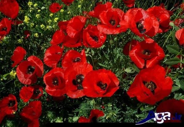 عکس دشت های گل شقایق